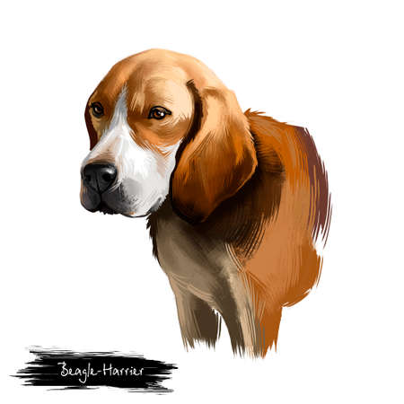 Beagle-Harrier scent hound breed dog digital art illustration isolated on white background. French origin medium-sized hunting hare detection dog. Cute pet hand drawn portrait. Graphic clip art design
