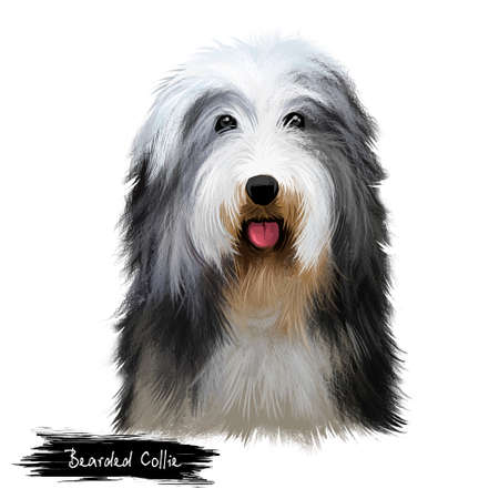 Bearded Collie or Beardie herding breed dog digital art illustration isolated on white background. Scottish origin working dog, sheepdog. Cute pet hand drawn portrait. Graphic clip art design Stock Photo