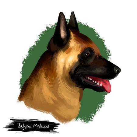 Belgian Malinois, Mechelaar, Mechelse Herder herding breed dog digital art illustration isolated on white background. Belgian origin working dog. Cute pet hand drawn portrait. Graphic clip art design