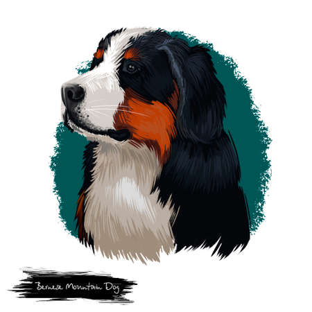 Bernese Mountain Dog, Berner Sennenhund dog digital art illustration isolated on white background. Switzerland origin Sennenhund-type guardian dog. Cute pet hand drawn portrait. Graphic clipart design