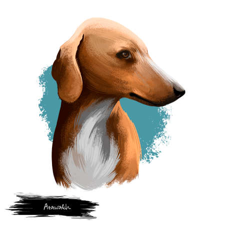 Azawakh dog breed digital art illustration isolated on white. Sighthound livestock guardian breed of dog from West Africa, used as a hunting dog, brown hound portrait with white hairy collar, profile Stockfoto