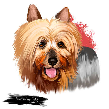 Australian Silky Terrier dog breed digital art illustration isolated on white. Small breed of terrier dog type. developed in Australia. Australian Terrier and Yorkshire Terrier long hair dog with text