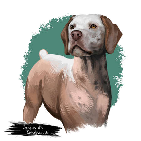 Braque du Bourbonnais dog breed isolated on white background digital art illustration. Gundog rustic appearance with short tail, portrait of realistic carnivore dog for web print design, friendly pet Stock Photo