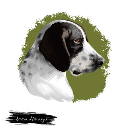 Braque dAuvergne dog breed isolated on white background digital art illustration. Type of hunting dog profile view, short, glossy coat is white with mottling of black, hand drawn domestic puppy pet Banque d'images - 99732030