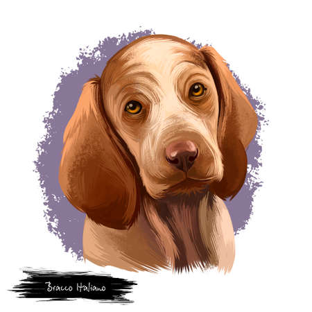 Bracco Italiano dog breed isolated on white background digital art illustration. Breed of dog developed in Italy as a versatile gun dog, head portrait of brown pet puppy, realistic design clipart