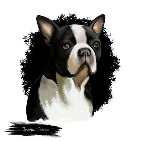 Boston Terrier dog breed isolated on white background digital art illustration. Boston Terrier is a compactly built, well-proportioned dog, black and white dog portrait, domestic puppy pet