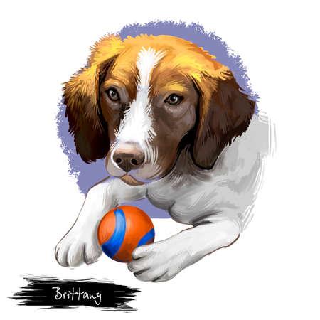 Brittany dog breed isolated on white background digital art illustration. Brittany breed of gun dog bred primarily for hunting. Cute domestic playful puppy with ball, clipart dog realistic portrait Stock Photo