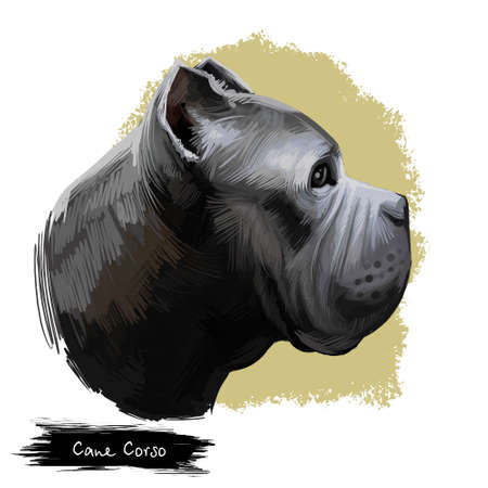 Cane Corso dog breed isolated on white digital art illustration. Italian Mastiff large breed of dog companion, guard and hunter. Cute pet hand drawn portrait. Graphic clipart design realistic animal