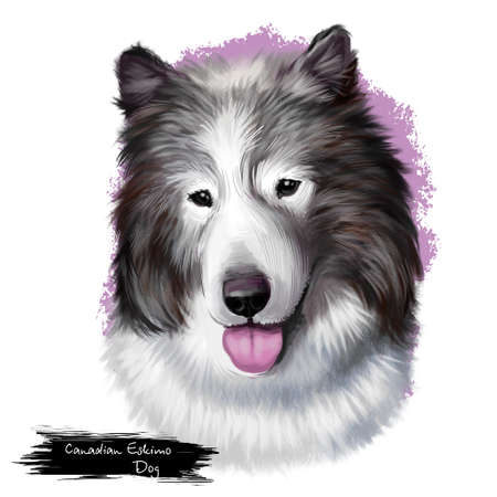 Canadian Eskimo dog breed isolated on white background digital art. Arctic breed of working dog, domestic canine qimmiq or qimmit. Cute pet hand drawn portrait. Graphic clipart design realistic animal Stock Photo