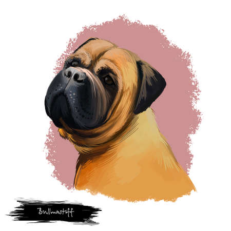 Bullmastiff dog breed isolated on white digital art illustration. Large-sized breed of domestic dog, solid build and short muzzle. Cute pet hand drawn portrait. Graphic clipart design realistic animal