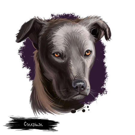 Cursinu dog digital art illustration isolated on white background. Corsica island origin hunting, working and farming dog. Cute pet hand drawn portrait. Graphic clip art design for web, print