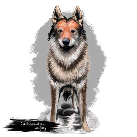 Czechoslovakian Wolfdog, Czechoslovakian Vlcak dog digital art illustration isolated on white background. Slovak Republic origin herding dog. Cute pet hand drawn portrait. Graphic clip art design Banco de Imagens