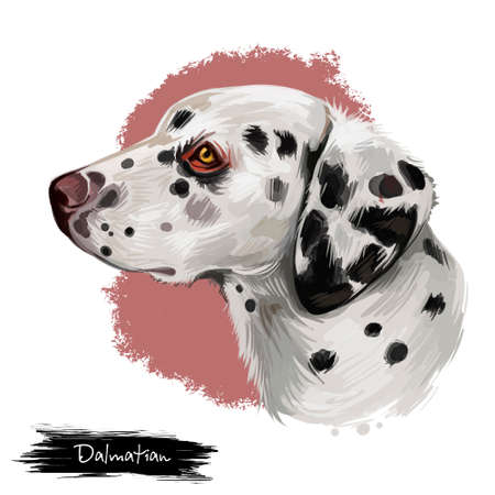 Dalmatian, Carriage Dog, Spotted Coach Dog, Firehouse Dog digital art illustration isolated on white background. Croatian origin companion dog. Cute pet hand drawn portrait. Graphic clip art design Stock Photo