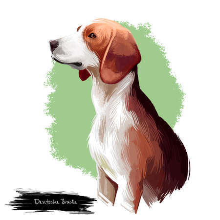 Deutsche Bracke, German Hound, German Bracke, Olper Bracke dog digital art illustration isolated on white background. Grmany origin scenthound dog. Cute pet hand drawn portrait. Graphic clipart design