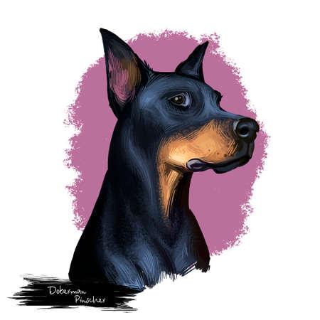 Doberman Pinscher, Dobermann, Dobie, Dobynm dog digital art illustration isolated on white background. German origin guardian dog. Cute pet hand drawn portrait. Graphic clip art design for web, print