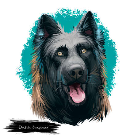 Dutch Shepherd, Hollandse Herder dog digital art illustration isolated on white background. Netherlands origin herding working dog. Cute pet hand drawn portrait. Graphic clipart design for weeb, print