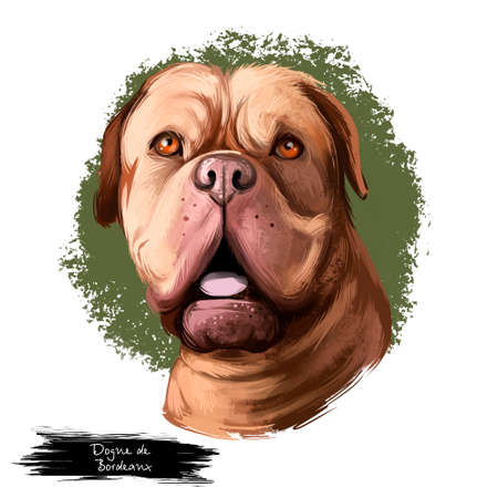 Dogue de Bordeaux, Bordeaux Mastiff, French Mastiff dog digital art illustration isolated on white background. French origin guardian dog. Cute pet hand drawn portrait. Graphic clip art design
