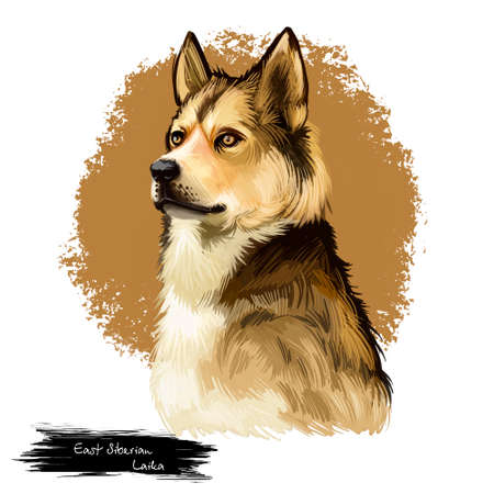 East Siberian Laika, Vostotchno-Sibirskaia Laika dog digital art illustration isolated on white background. Russian origin northern breed hunting dog. Pet hand drawn portrait. Graphic clip art design
