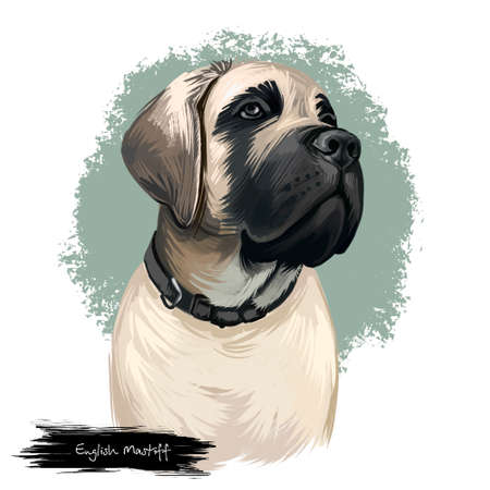 English Mastiff, Old English Mastiff, Mastiff dog digital art illustration isolated on white background. Englan origin guardian dog. Cute pet hand drawn portrait. Graphic clipart design for web, print