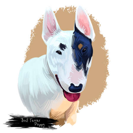 Bull terrier puppy wedge head portrait of English breed. Gentlemans companion domestic pet mammal animal pedigreed in England isolated on white background digital art illustration Archivio Fotografico - 104781922