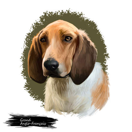 Grand Anglo-Francais, Great Anglo-French dog digital art illustration isolated on white background. France origin scenthound hunting dog. Pet hand drawn portrait. Graphic clip art design for wb, print 스톡 콘텐츠