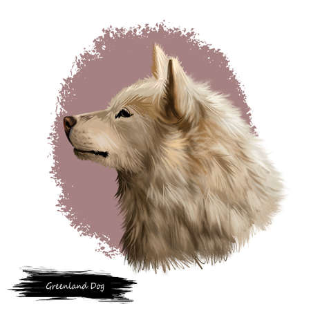 Greenland Dog, Esquimaux dog digital art illustration isolated on white background. Greenland origin working dog, northern breed. Pet hand drawn portrait. Graphic clip art design for web, print Stock Photo