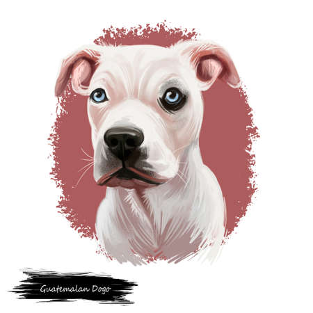 Guatemalan Dogo, Dogo Guatemalteco dog digital art illustration isolated on white background. Guatemala origin mastiff dog. Pet hand drawn portrait. Graphic clip art design for web, print