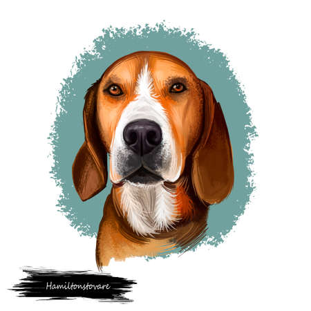 Hamiltonstovare, Hamilton Hound, Swedish Foxhound, Hamilton dog digital art illustration isolated on white background. Sweden origin hunting dog. Pet hand drawn portrait. Graphic clip art design Stock Photo