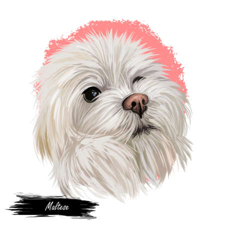 Maltese canis familiaris maelitacus, toy dog digital art illustration. Small pet originated in Italy, Italian breed. Purebred puppy with white fur domesticated animal mammal profile portrait