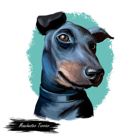 Manchester terrier, English dog breed digital art illustration. Smooth-haired pet domesticated to control vermin, notably rats. Healthy canine originated in England, portrait.
