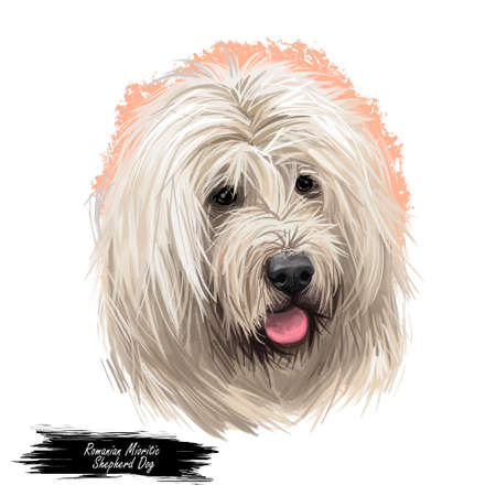 Romanian mioritic dog digital art illustration livestock guardian breed that originated in Carpathian Mountains of Romania. Romania originated mountain pet with long white fur and stuck out tongue.