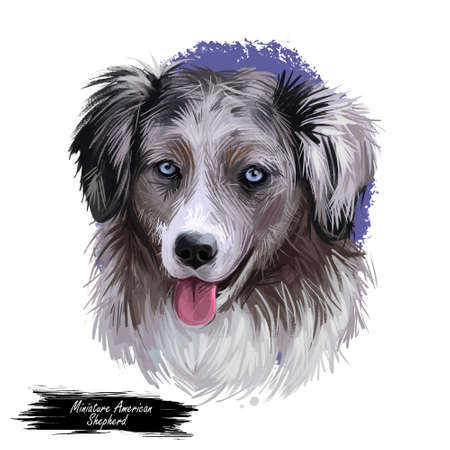 Miniature American shepherd, intelligent dog digital art illustration. MAS purebred trained to take part in sports, clever hound with long fur. Canine breed with stuck out tongue portrait closeup Banque d'images - 109700126