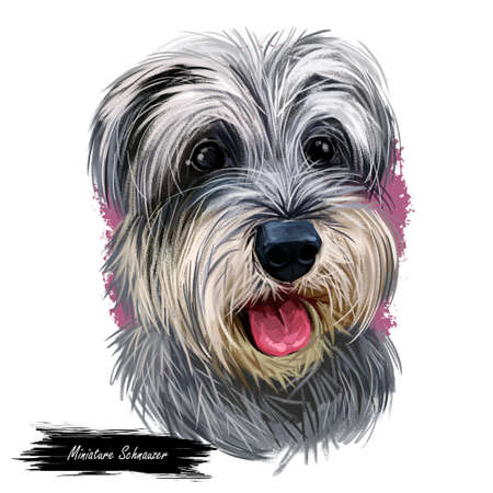 Miniature schnauzer, ratting hound guarding dog zwergschnauzer digital art illustration. German breed of animals closeup portrait. Canine animal with stuck tongue, pet puppy having docked tail
