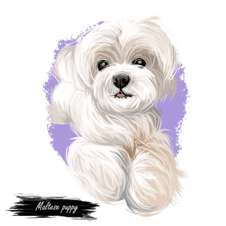 Maltese puppy, canis maelitacus breed of toy type 写真素材