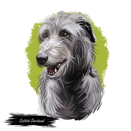 Scottish Deerhound pet originated from Scotland digital art illustration . Canine with long haired coat from Britain purebred watercolor portrait