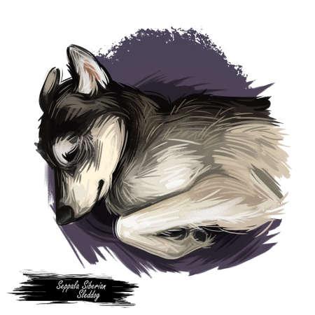 Seppala Siberian Sleddog sleeping dog digital art. Watercolor portrait of purebred domestic animal laying, isolated hand drawn doggy Фото со стока