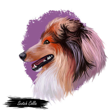 Scotch collie pet with long fur, furry domestic animal sticking out tongue pet hand drawn portrait. Graphic clip art design of canine purebred breed Stok Fotoğraf