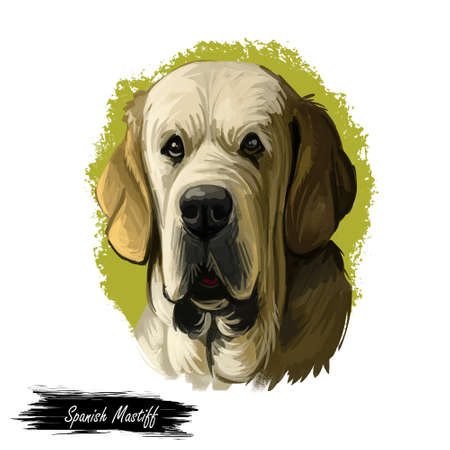 Spanish Mastiff Mastin espanol de campo y trabajo digital art. Watercolor portrait closeup of pet muzzle originated from Spain