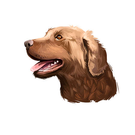 Chesapeake Bay Retriever dog breed isolated on white background digital art illustration. Cute pet hand drawn portrait. Graphic clipart design realistic animal