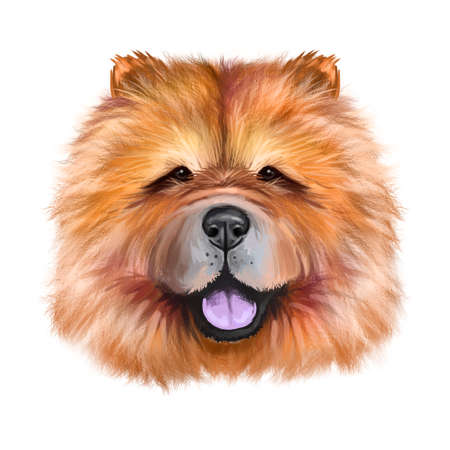 Chow Chow dog breed isolated on white background digital art illustration. Cute pet hand drawn portrait. Graphic clipart design realistic animal Stock Photo