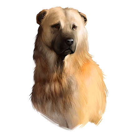 Afghan Shepherd breed digital art illustration isolated on white background. Cute domestic purebred animal. Kuchi or Afghan Shepherd De Kochyano or Jangi Spai, build is molosser-like.