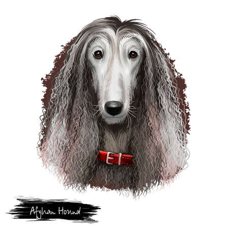 Afghan Hound breed digital art illustration isolated on white background. Cute domestic purebred animal. Hound distinguished by its thick, fine, silky coat. Kuchi Baluchi Barakzai Shalgar Hound. Stockfoto