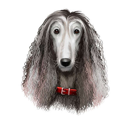 Afghan Hound breed digital art illustration isolated on white background. Cute domestic purebred animal. Hound distinguished by its thick, fine, silky coat. Kuchi Baluchi Barakzai Shalgar Hound. 写真素材