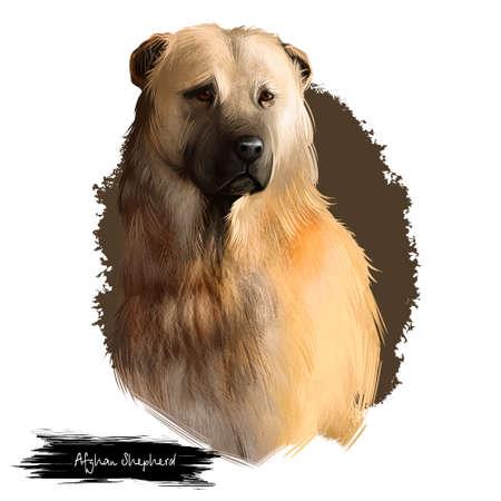 Afghan Shepherd breed digital art illustration isolated on white background. Cute domestic purebred animal. Kuchi or Afghan Shepherd De Kochyano or Jangi Spai, build is molosser-like