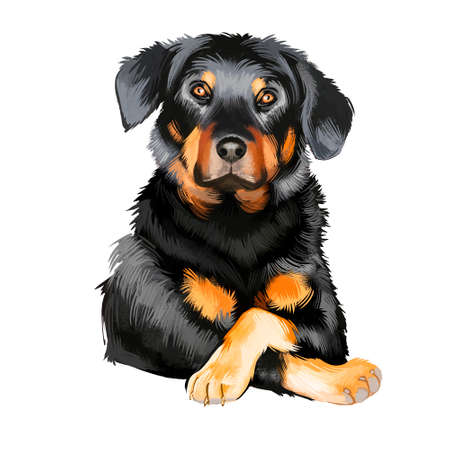 Beauceron, Berger de Beauce or Bas Rouge guard herding breed dog digital art illustration isolated on white background. French origin sheepdog. Cute pet hand drawn portrait. Graphic clip art design.