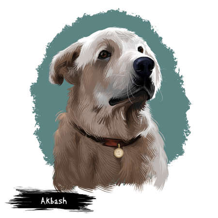 Akbash dog digital art illustration isolated on white background. Livestock guardian shepherd dog. National dog breeds of Turkey. Cute puppy in collar with metal, pedigree canine,champion breed Фото со стока