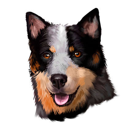 Australian Stumpy Tail Cattle Dog breed digital art illustration isolated on white. Naturally bobtailed or tailless, medium-sized breed of Cattle Dog, Australian Stumpy-Tail shorter Stump Tail Dog