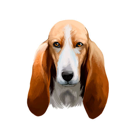 Basset Artesien Normand or Norman Artesian Basset short-legged hound type French dog digital art illustration isolated on white background. Cute pet hand drawn portrait. Graphic clip art design