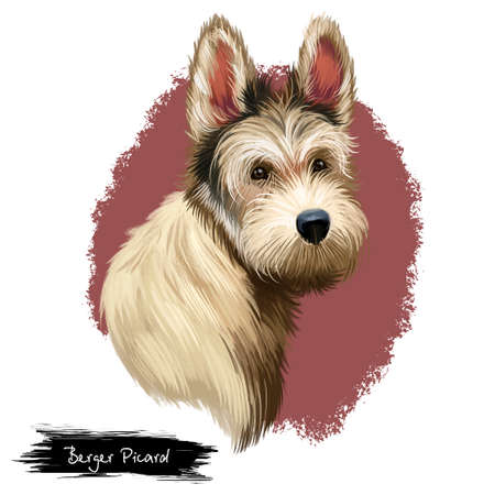 Berger Picard or Picardy Shepherd herding group breed dog digital art illustration isolated on white background. French origin working dog. Cute pet hand drawn portrait. Graphic clip art design
