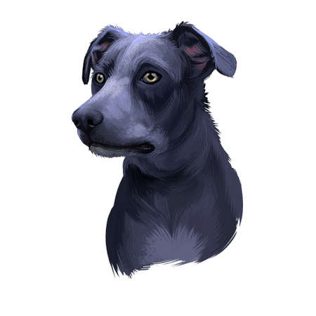 Blue Lacy, Lacy Cur dog, Lacy Hog Dog, state dog of Texas digital art illustration isolated on white background. American origin working dog. Cute pet hand drawn portrait. Graphic clip art design Stock Photo